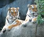 Tigers photograph