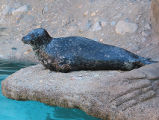 Harbor seal photograph
