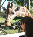 Giraffe and zoo visitor photograph