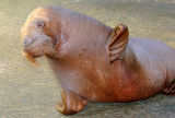 Pacific walrus photograph