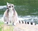 Ring-tailed lemur photograph