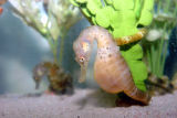Pot-bellied seahorse photograph
